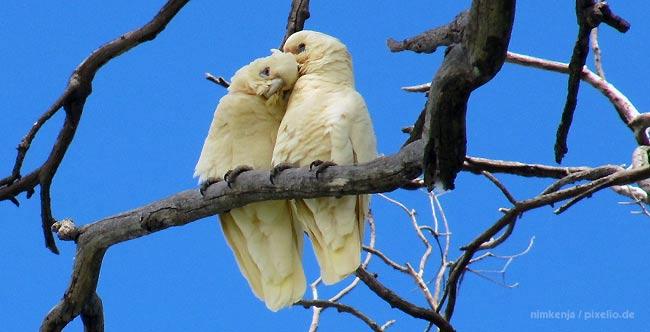 Kakadu Als Haustier