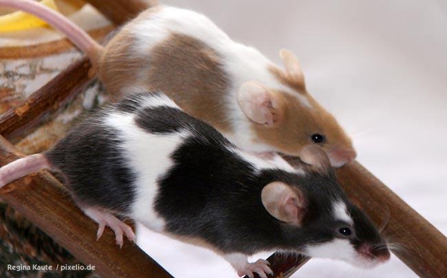 Maus Als Haustier Mäuse Haustiere